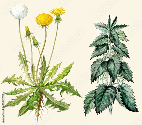 Dandelion flowers and seeds, nettle