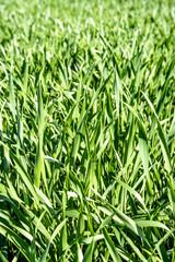 Energiepflanze  Szarvasi-1 Gras