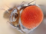 Extreme sharp close up of Drosophila melanogaster