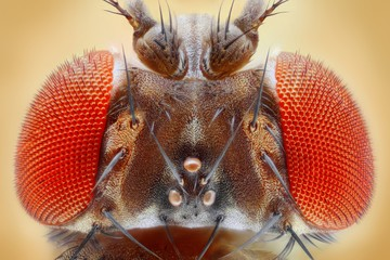 Fruit fly extreme sharp head closeup, microscope objective
