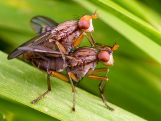 A couple of flies mating on a leaf