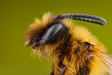 Extreme sharp and detailed study of Bee, microscope objective