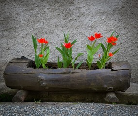Beautiful red tulips growing in old log