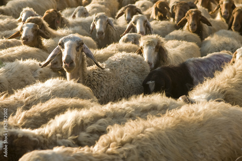 herd of sheep in Israel
