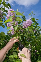 Woman hands cutting off lilac flowers