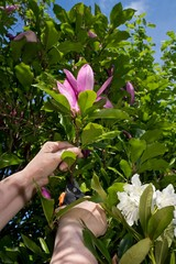 Woman hands cutting off a magnolia flower