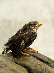 Wet fledgeling European sparrow