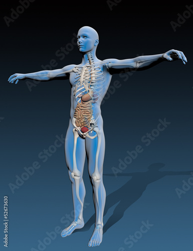 Human body with internal organs