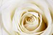 Obrazy na płótnie, fototapety, zdjęcia, fotoobrazy drukowane : Beautiful white rose.