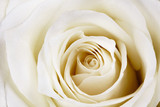 Fototapeta Beautiful white rose.
