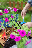 Potting surfinia flowers, gardening concept