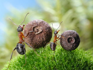 big and little ants roll corresponding seeds
