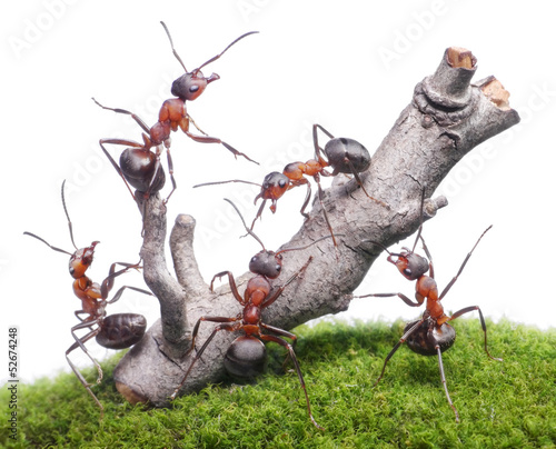 ants bring down old tree, teamwork isolated on white