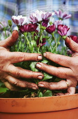 Senior hands holding flowers, gardening concept