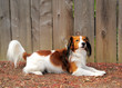 A Cute Dog Laying against Wooden Fence