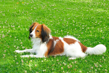 A Beautiful Young Dog Laying on a Lawn