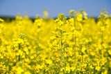 Flowering rapeseed field