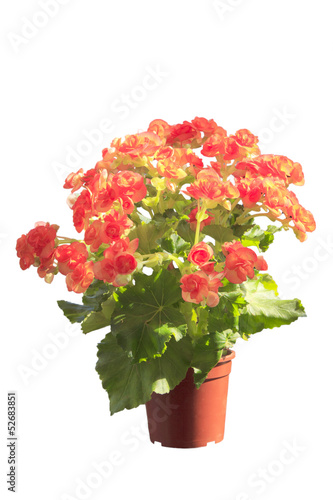 petunia in pot on white background.