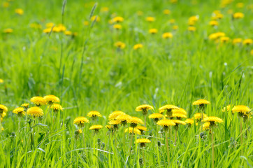Green meadow with yellow dandelions