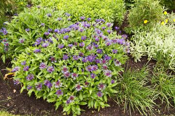 clump of blue cornflowers