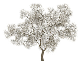 winter english oak tree isolated on white background
