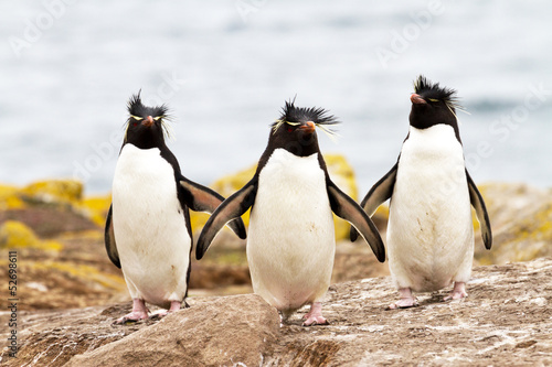 Tuinposter Pinguin Rockhopper Penguins walking uphill
