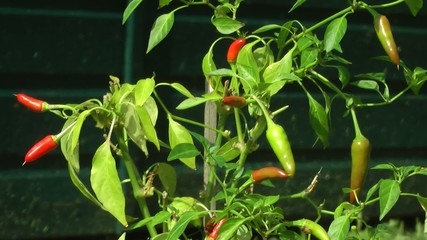Chili Plant with Red Chili Fruit