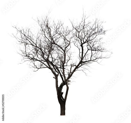 leafless tree isolated on white
