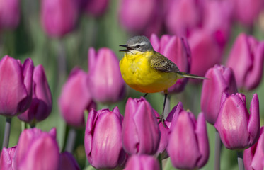 Yellow wagtail sitting on Dutch Tulips
