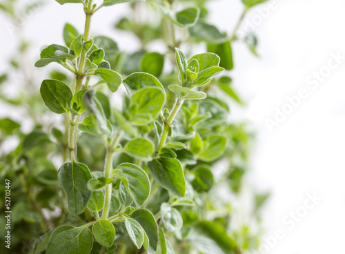 isolated oregano spice
