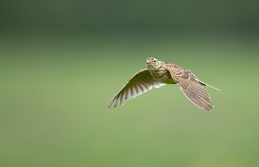 A meadow pipit on ore a titlark in fligh