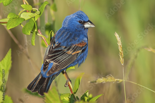 Male Blue Grosbeak (Guiraca caerulea)