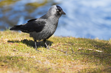 Jackdaw at the waterside in spring