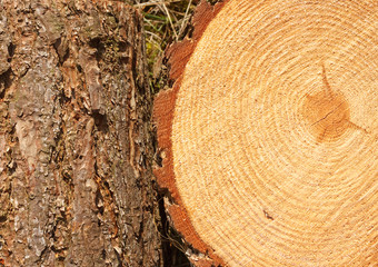 pine tree rings and trunk