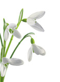 Spring snowdrops isolated on white background