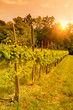 Vineyard at sunset