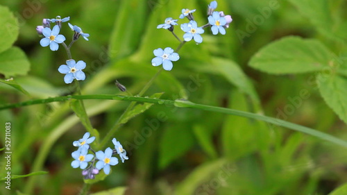Group of fresh blue Forget-me-not flowers with dew