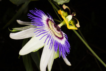 The flower of passiflora caerulea