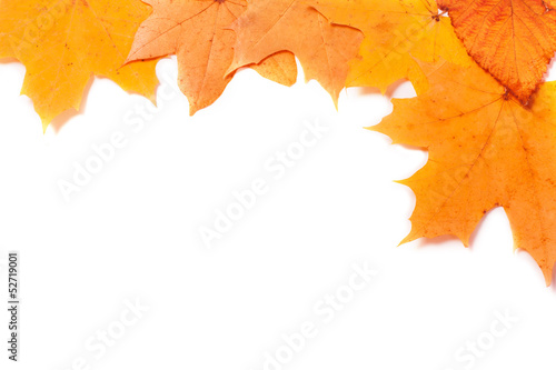 maples on white background