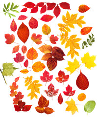 collection autumn leaves isolated on white