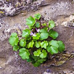 Violettes sur un mur