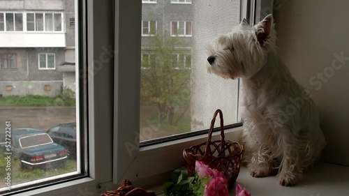 West Highland Terrier dog looking out the window