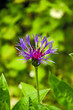 canvas print picture - Bleuets des champs ( Centaurea cyanus )
