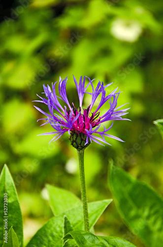 canvas print picture Bleuets des champs ( Centaurea cyanus )