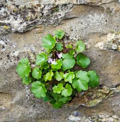 Fleur poussant sur un mur