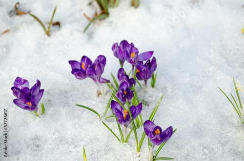 Fotobehang Krokus bunch saffron crocus blue spring bloom snow spring