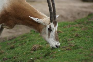 Scimitar Oryx - Oryx dammah