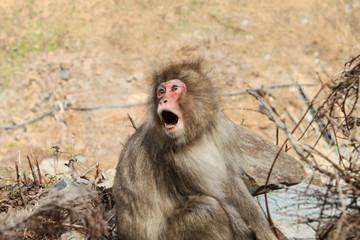 Angry Japanese macaca