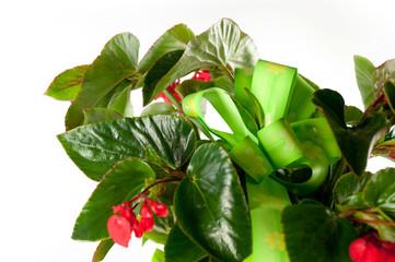 fiocco verde nella begonia