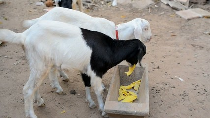 Young Goat Feeding At A Farm